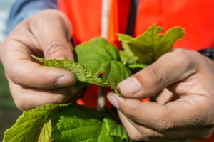 Hazelnut Leaf with Lady Bug
